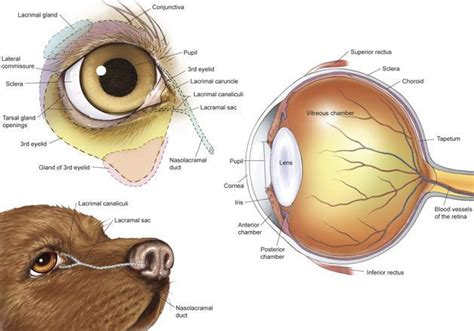 Cat Eye Anatomy Conjunctiva