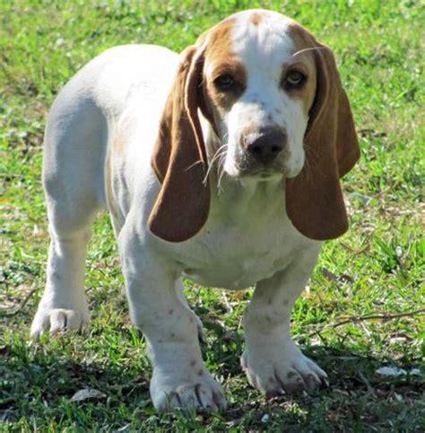 hamilton hound puppies rescue pictures information