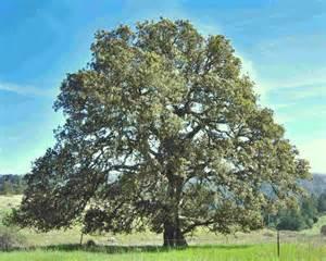массивная доска дуб