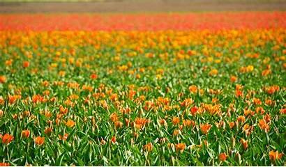 Fields Flower Dutch Holland Netherlands Tulip Flowers