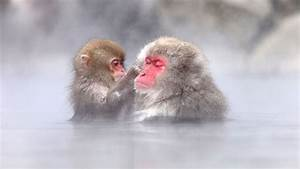 Natural Snow Monkey, Japanese Macaque – Facts Of