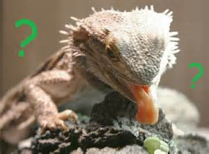baby bearded dragon bearded dragon eating pictures to pin