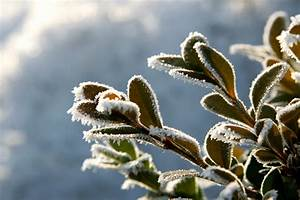 Evergreen In Winter  U2013 Learn About Winter Damage Of Evergreen Shrubs