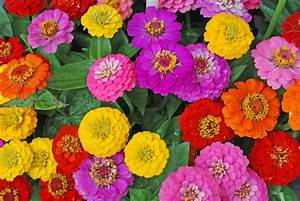 Zinnia Flowers  How To Grow And Care For Zinnia Plants
