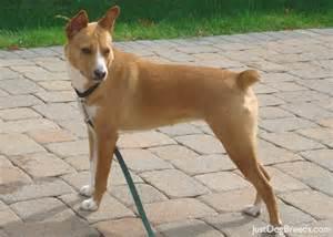 basenji breeds