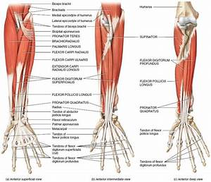 Muscles Of The Forearm That Move The Wrist  Hand  Thumb