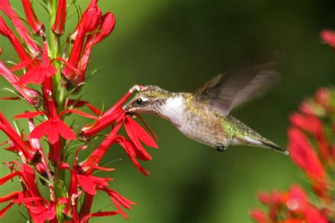 flowers that attract hummingbirds 37 flowers that attract hummingbirds to your garden pioneer settler