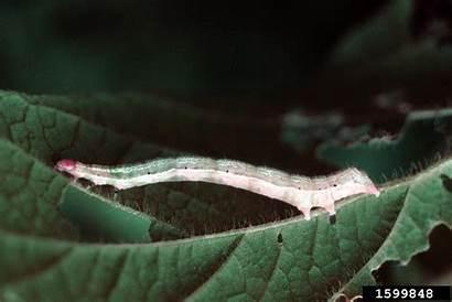 Soybean Looper Glycine Species