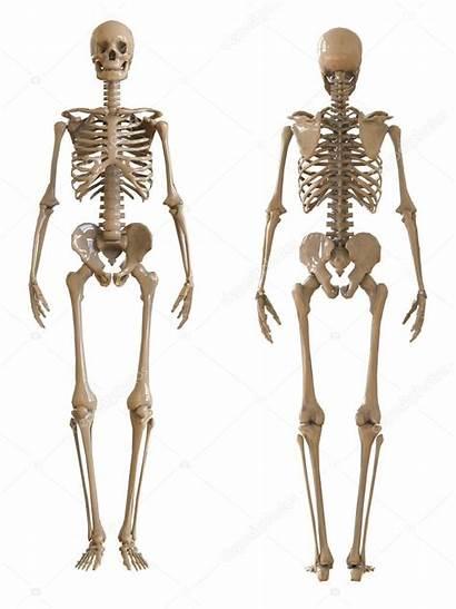 Skeleton Esqueleto Scheletro Skelet Human Umano Dello