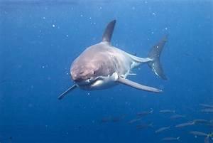 Shark Facts U00bb Greatwhiteshark3d
