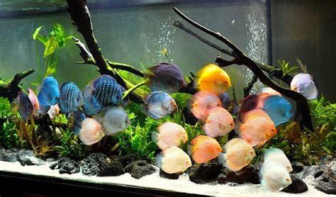freshwater tropical fish brilliant gems   deep