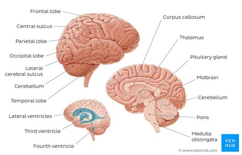 Label Brain Diagram by Parts Of The Brain Learn With Diagrams And Quizzes Kenhub