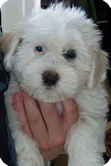 The baby name june was first bestowed as a given name in the 20th century. Havanese female puppy (born June 3rd) avaIlable for adoption