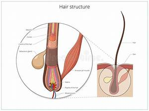 Hair Structure Medical Educational Vector Stock Vector