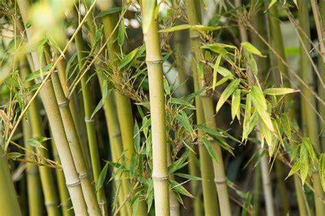 cuisiner les pousses de bambou cuisiner les pousses de bambou 28 images utiliser le