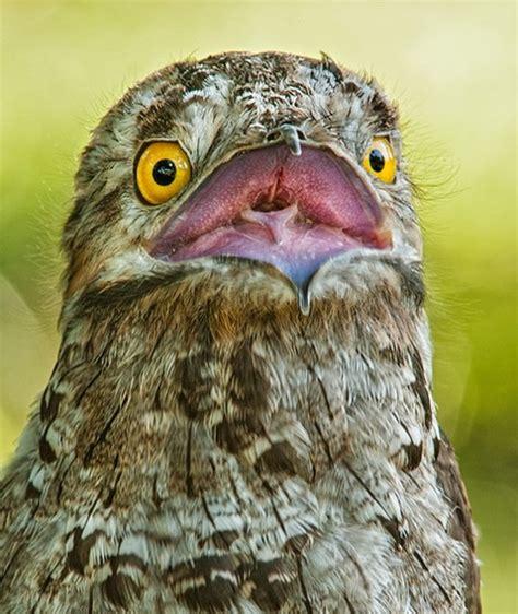 Potoo Bird -- Facts, Photos, And Meme