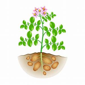 Potatoes Plant Growing Process From Seed To Ripe