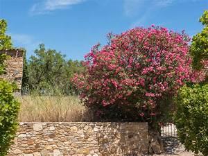 Mediterrane Pflanzen Winterhart : ist der oleander winterhart ein erfahrungsbericht mediterrane pflanzen pinterest ~ Frokenaadalensverden.com Haus und Dekorationen