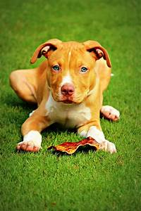 187 best images about Pitbulls on Pinterest