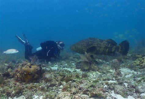 grouper goliath atlantic itajara giant ikan epinephelus tortugas dry mero mulut hiu guasa kerapu national park species endangered asin takluk