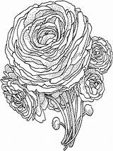 Coloring Peony Pages Flower Flowers Printable Colors Template sketch template