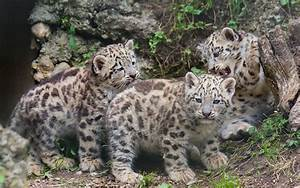 Snow leopard kittens cat wallpaper | 1920x1201 | 118166 ...