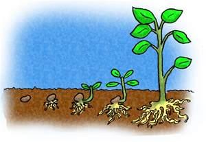 Plant Life Cycle Kids