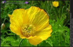 Alpenveilchen Gelbe Blätter : bl bilder 1084 fotos ~ Lizthompson.info Haus und Dekorationen