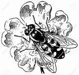 Hoverfly Clipart Coloring Hover Fly Syrphidae Designlooter Vector Clipground 98kb 1300 1245px sketch template