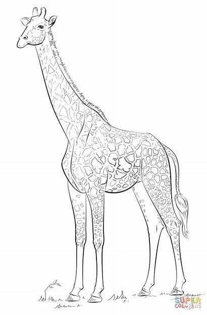 Giraffe Coloring Draw Drawing Masai Realistic Pages