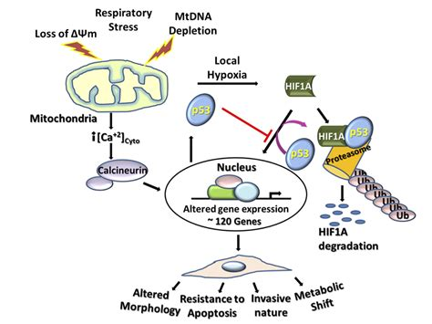 penn team finds mitochondrial stress induces cancer