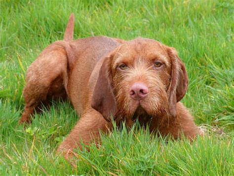 Do Hungarian Wirehaired Vizslas Shed by Wirehaired Vizsla Breed Guide Learn About The Wirehaired