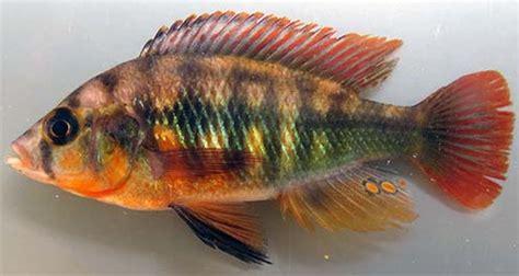 future  lake victoria   tiny fish