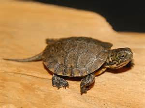 western pond turtles for sale from the turtle source