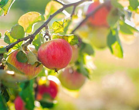 Aepfel Richtig Ernten Und Wie Lagern by Apfelernte Praktische Tipps Living At Home