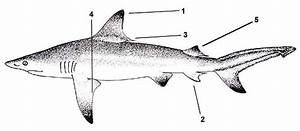 Carcharhinus Limbatus  U2013 Discover Fishes