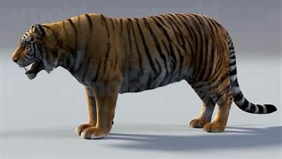 Tiger 3d Maya Models Animals Cgtrader Ma