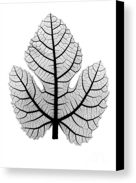 Image result for xray fig leaf   Fig leaves, Xray art, Fig