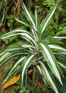 Pflanze Mit Großen Blättern : drachenbaum dracaena pflege pflanzenfreunde ~ Michelbontemps.com Haus und Dekorationen