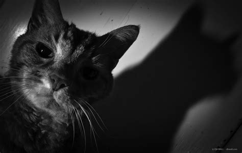 Cat's Shadow, Black And White