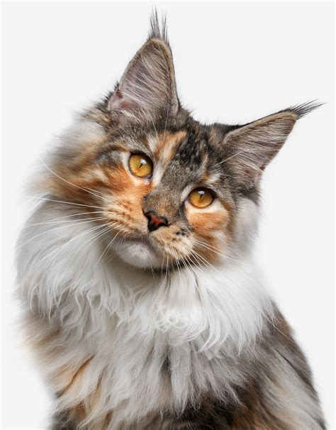 check   beautiful gallery  pictures  maine coon cats