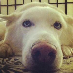 White Husky with blue eyes | aminals | Pinterest