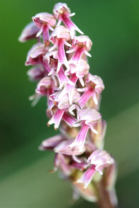 Orchis intacta. Syn: Neotinea maculata. | Orchids, Orchis