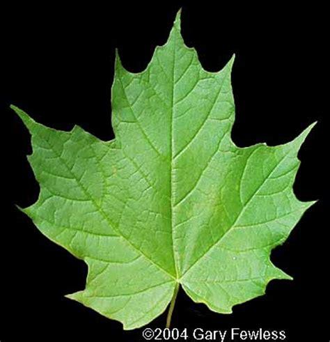 maple tree leaf trees of wisconsin acer saccharum sugar maple