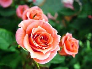 Image result for rose
