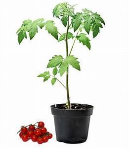 Plant Tomate Cerise : kerbio plants en pot tomate cerise supersweet bio ~ Melissatoandfro.com Idées de Décoration