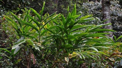 tepus jahe tanaman survival  bisa dimakan  hutan