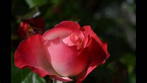 Beautiful Red Rose Flower Collection - Hd  720p