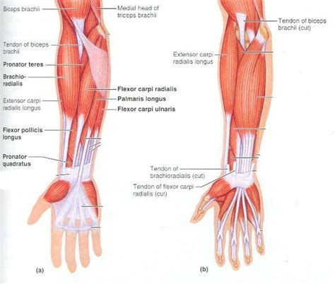 Forearm tendinitis is a painful condition caused by inflammation of a tendon, i.e., a sinew that connects muscle to bone. Pictures Of Brachialis Tendons