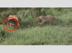 Spektakuläre Löwenjagd Wen beschützt die Löwin?